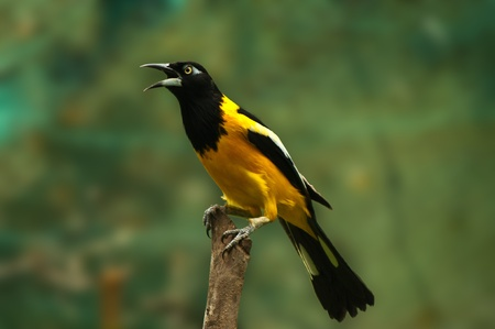 aves: A troupial standing on a post