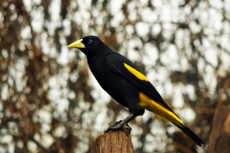A yellow rumped cacique standing on a post Stock Photo - 13638088