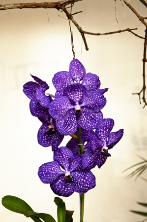 A vanda pakchong blue orchid  photo