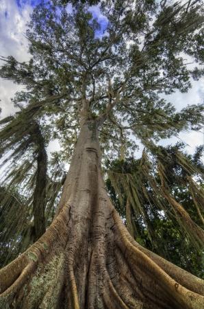 santander: Looking up at a Ceiba tree  Stock Photo