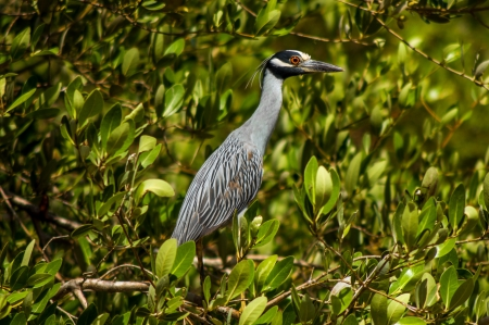 A great blue heron in a grove of trees  Stock Photo - 14832930