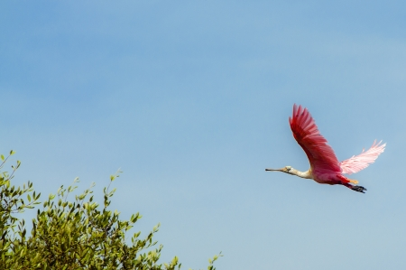 An image of a flamingo in flight Stock Photo - 14832922