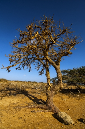 parch: A leafless twisted tree in a barren landscape