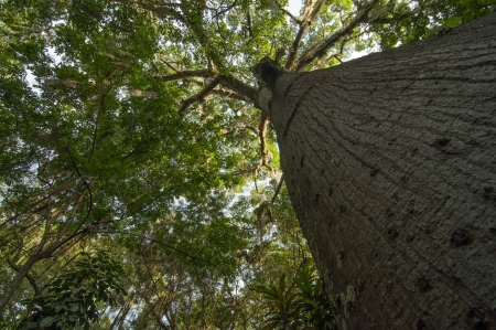 santander: A view looking up at a Ceiba tree in San Gil, Colombia