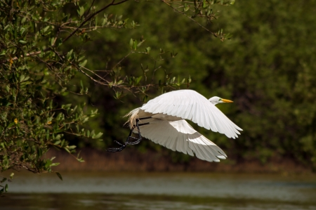 A great egret in the process of taking off  Stock Photo - 14832929