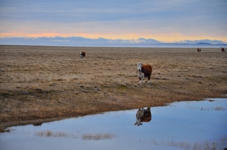 tierra: Cows early in the morning in Tierra del Fuego