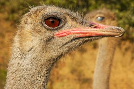A closeup of an ostrich face