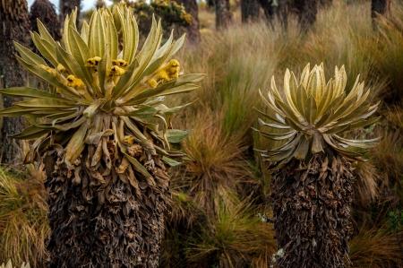ruiz: Two espeletia plants in Nevado del Ruiz National Park