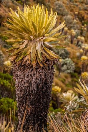 ruiz: An espeletia plant in Nevado del Ruiz National Park  Stock Photo
