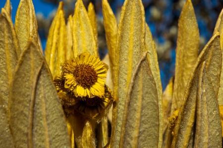 ruiz: A closeup of a yellow espeletia flower  Stock Photo