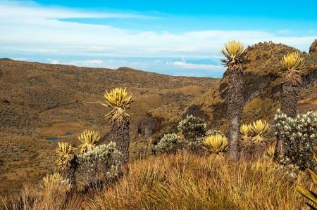 cordillera: Landscape in Nevado del Ruiz with various espeletia plants  Stock Photo