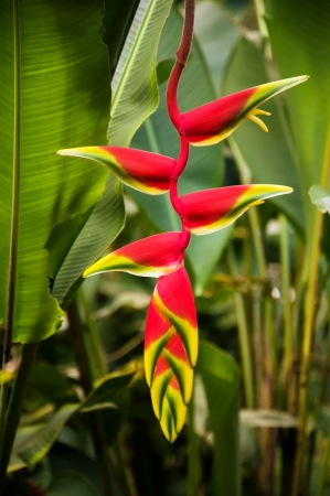 santander: A red heliconia flower in a forest in Colombia