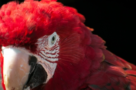 A closeup shot of the face of a scarlet macaw Stock Photo - 15747656