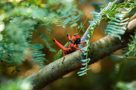 A large red and green grasshopper in Colombia  Stock Photo - 15759456