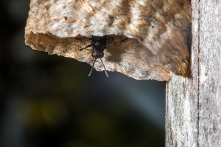 huila: A black wasp looking out of a hive