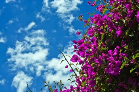 bougainvillea: Beautiful purple Bougainvillea plant with blue sky