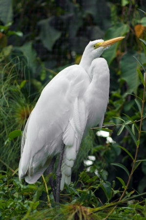 Great white heron, or egret, in marshland Stock Photo - 16296219