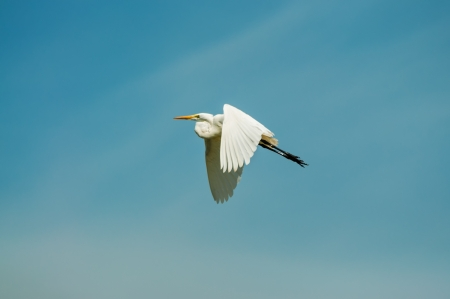 Great egret in flight with a beautiful blue sky Stock Photo - 16765722
