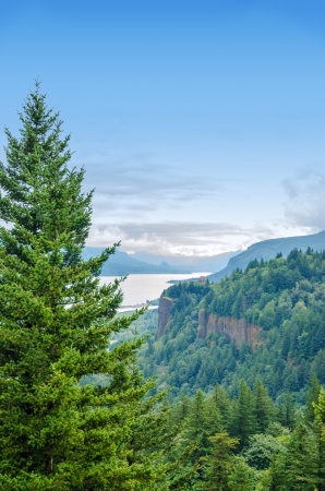 gorge: Tall pine tree towering over the Columbia River Gorge in Oregon