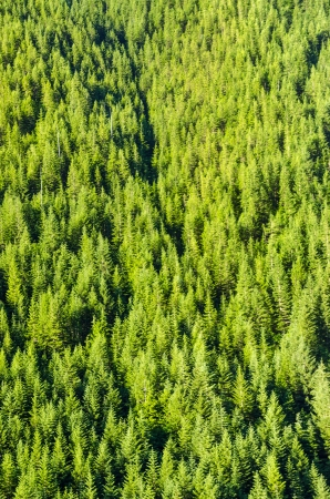 mt  hood national forest: Dense forest of pine trees in western Oregon Stock Photo