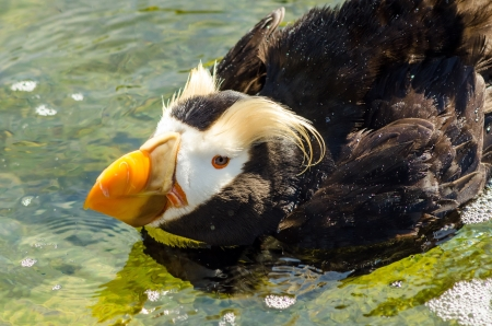 tufted puffin: Closeup view of a Tufted Puffin in a pool of water Stock Photo