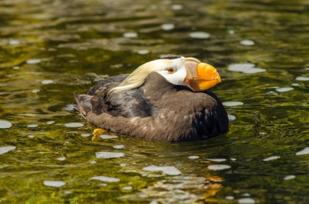 tufted puffin: A Tufted Puffin bird relaxing in a pool of water Stock Photo