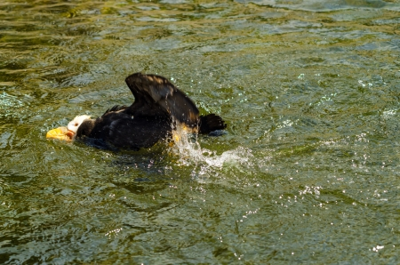 tufted puffin: Tufted Puffin splashing around in water Stock Photo