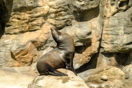 pinniped: A sea lion sitting up enjoying the sun Stock Photo