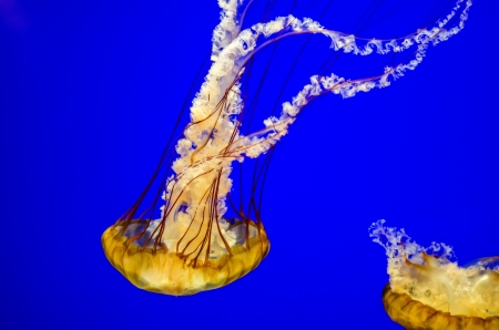oceanography: Orangish Sea Nettle Jellyfish with a beautiful blue background