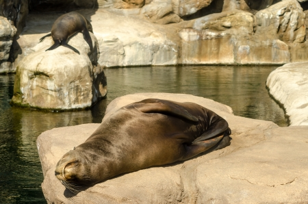 pinniped: A pair of sea lions relaxing in the sun Stock Photo