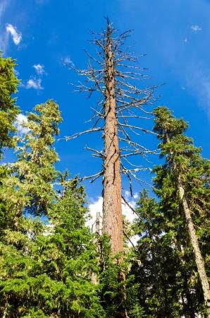 national forest: �rbol de pino muerto elev�ndose por encima de los pinos que viven en el Monte Hood National Forest