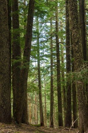 mt hood: Pine trees in Mt  Hood National Forest