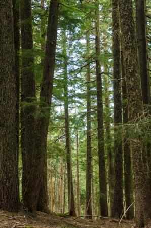 national forest: �rboles de pino en el monte Hood National Forest