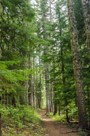 mt  hood national forest: Trail passing through tall pine trees in Oregon