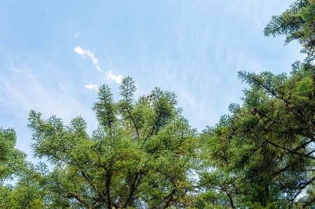 mt hood national forest: Looking up at pine tree branches and blue sky Stock Photo
