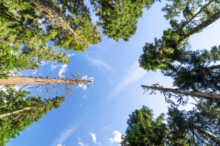 mt hood: Looking up at towering pine trees Stock Photo