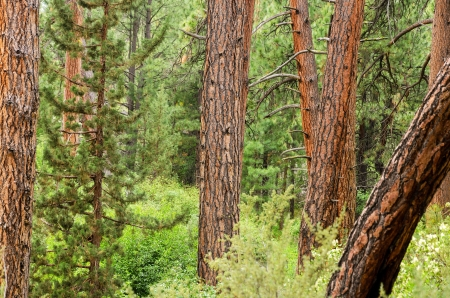 ponderosa: View of pine trees with a combination of tree trunks and foliage