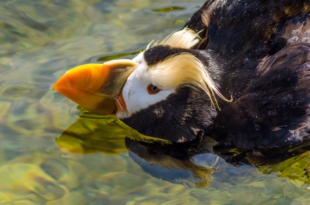 tufted puffin: Closeup view of a Tufted Puffin in water