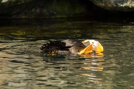 tufted puffin: A Tufted Puffin bird splashing around in water