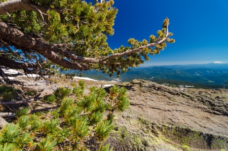 mt hood: Low wind battered pine tree and view of Mount Jefferson as seen from Mount Hood Stock Photo