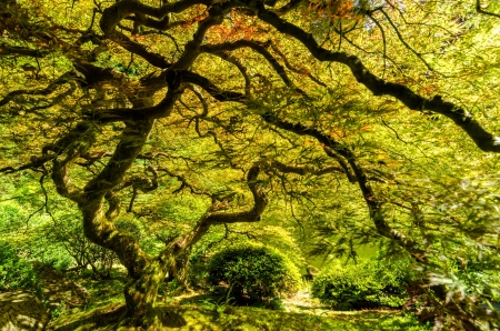 japanese maples: Japanese maple tree in the Japanese Garden in Portland, Oregon