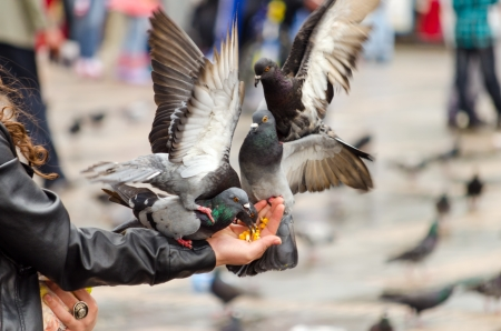 Pigeons flocking to eat corn from a hand in the Plaza de Bolivar in Bogota, Colombia photo