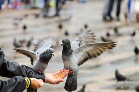 Pigeons eating corn from a hand in Bogota, Colombia photo