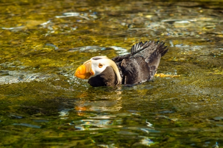 puffin: Puffin bird swimming in a pool of water in Newport, Oregon Stock Photo
