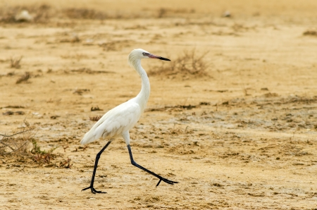 Great Egret walking in a dry landscape in La Guajira, Colombia photo