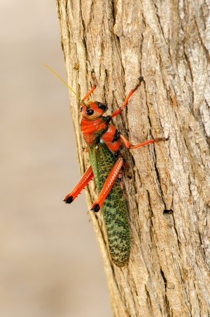 caelifera: Large red and green grasshopper closeup in La Guajira, Colombia