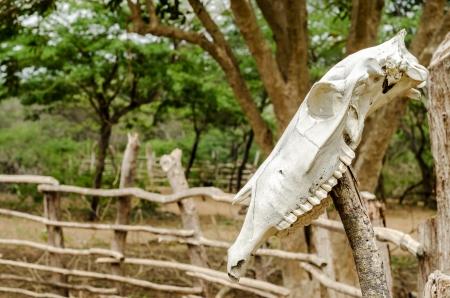 craneo de vaca: Un viejo cr�neo de vaca blanca en un poste Foto de archivo
