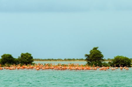 flamingos: Large flock of flamingos in the Caribbean Sea in La Guajira, Colombia