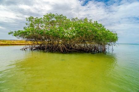 mangrove: Mangrove tree near the coast of Punta Gallinas in La Guajira, Colombia Stock Photo