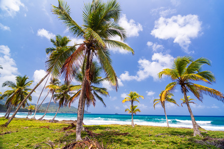 Grove of palm trees on the Caribbean coast in Capurgana, Colombia photo
